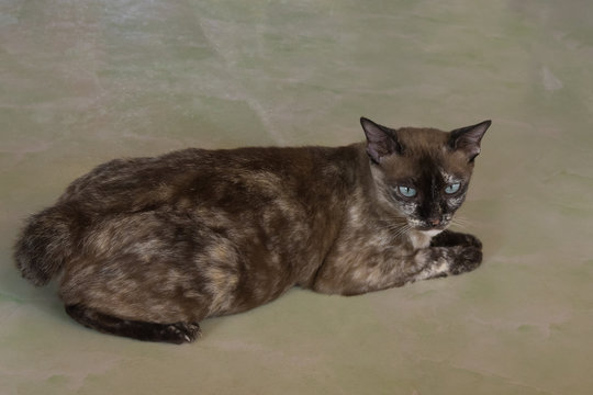 The motley cat breed Manx (bobtail) lies on the floor of greenish color in vietnamese house