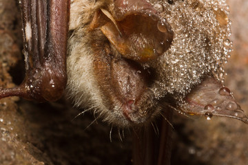 Während der Überwinterung finden sich im Harz Mausohren mit einem Pilz am Mundbereich
