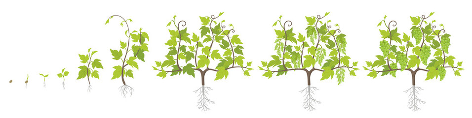 Fototapeta Growth stages of grape plant. Vineyard planting increase phases. Vector illustration. Vitis vinifera harvested. Ripening period. The life cycle. Grapes on white background.