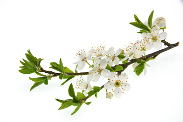 branch with flowers isolated on white background