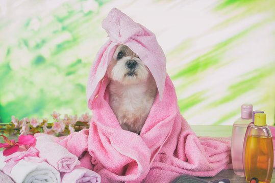 Little maltese dog at spa