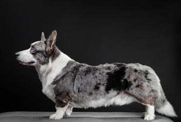 Beautiful corgi dog standing, side view, dark background