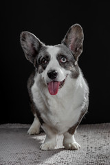 Beautiful grey corgi dog with different colored eyes closeup emotional portrait