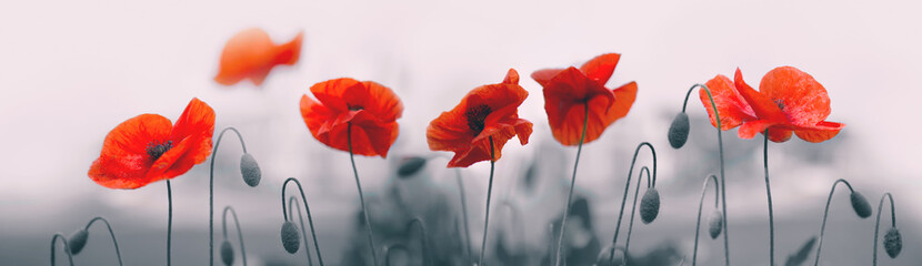 Red poppy flowers isolated on gray background.