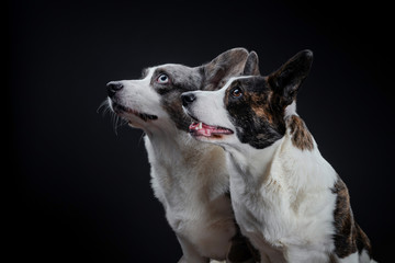Two beautiful brown and grey corgi dogs posing in studio, isolated on black background