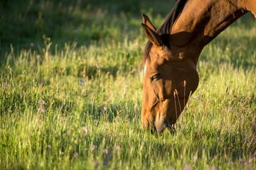 Cavalo ao amanhecer no campo