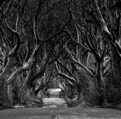 Black and white photo of Road through the Dark Hedges  a unique beech tree tunnel road n Ballymoney, Northern Ireland. Game of thrones location