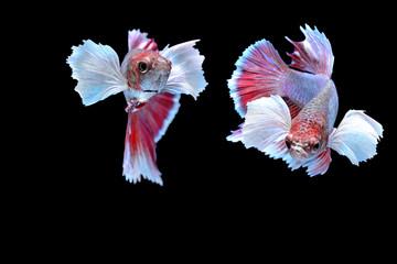 art of siamese fiter fish