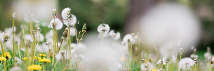 Photo sur Aluminium Pissenlit Dandelion flowers on the meadow
