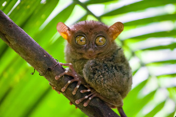 Papiers peints Singe Phillipine Tarsier ,Tarsius Syrichta, the world's smallest primate Cute Tarsius monkey with big enormous eyes sitting on a branch with green leaves. Bohol island, Philippines.