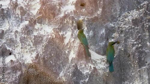 Lover birds behavior and habitat  Blue tail bee eater birds