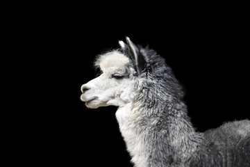 Close-up portrait of a gray llama with white breasts on a contrasting black background