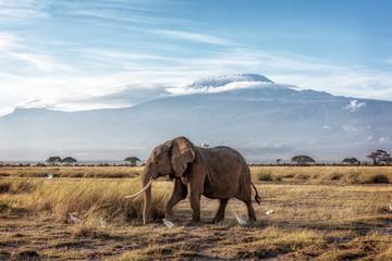 Tuinposter Olifant African Elephant Walking Past Mount Kilimanjaro