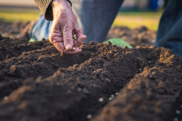 Farmer´s hand planting seed of green peas into soil. Sowing at springtime. Gardening concept Wall mural