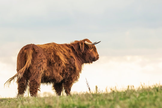 Highland cattle, Scottish cattle breed Bos taurus with big long horns