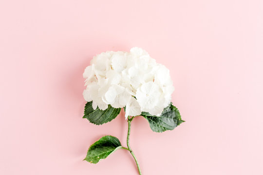 Beautiful, white hydrangea flower on pink background. Floral concept. Flat lay, top view.