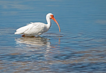 An adult White Ibis fishing for crabs in blue waters.