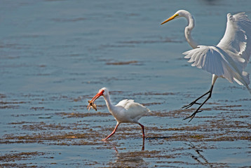 A White Ibis runs away from a Snowy Egret with his fish.