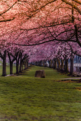 Pink cherry blossom spring tree tunnel