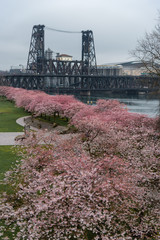 Portland Oregon waterfront with spring cherry blossoms and the Steel Bridge