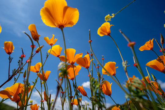 Looking up view of poppies at Walker Canyon during the California super bloom, against a bright blue sky