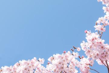 (自然ー花)青空とさくら1 Wall mural