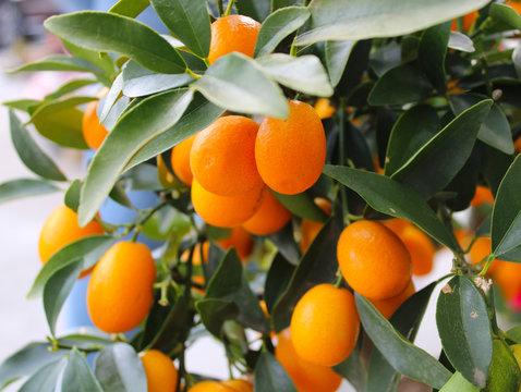 Fresh kumquat fruits on the tree