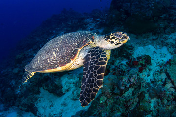 Wall Mural - Hawksbill Sea Turtle swimming along a tropical coral reef at sunrise