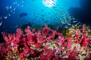 Wall Mural - Beautiful soft corals on a tropical coral reef (Richelieu Rock, Thailand)