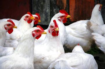 White chickens on a free range farm in a small village in Masovia region of Poland