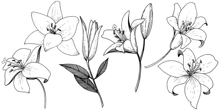 Vector Lily floral botanical flower. Black and white engraved ink art. Isolated lilies illustration element.