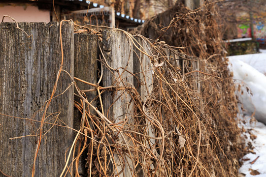 Old wooden fence entwined with last year's dry grass.