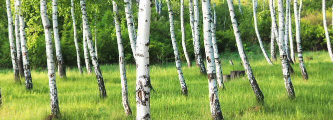 Beautiful birch trees with black and white birch bark in spring in birch grove against the background of other birches