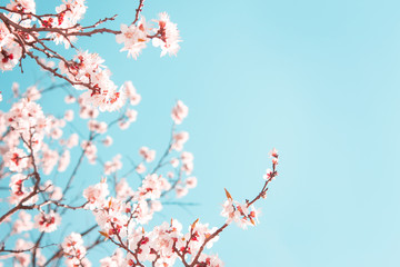 Blooming apricot tree in spring on blue sky background