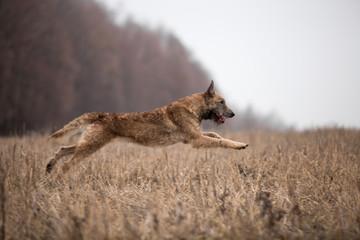 Dog breed Belgian Shepherd Lackenois running in the field Lakenua
