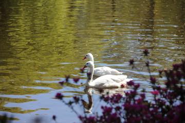 White bird duck goose on lake water behind beautiful pink bush. Spring time in Keukenhof flower garden, Netherlands, Holland