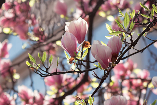 buds of pink magnolia blossom. branches with beautiful tender flowers. wonderful springtime background in the garden