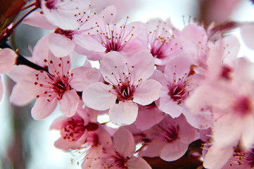 pink spring cherry blossoms