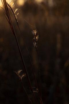 Little bluestem grass in first light in the morning