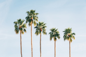 Poster Palmier Palm trees in Palm Springs, California