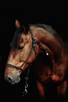 Bay brown sport horse isolated on black background