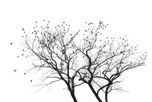 Many blackbirds in a bare tree tree with white background