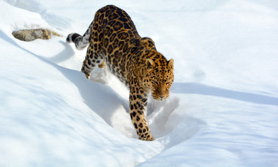 In de dag Luipaard Amur leopard is a leopard subspecies native to the Primorye region of southeastern Russia and the Jilin Province of northeast China.