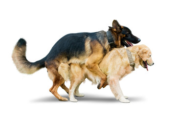 Two dogs different species mating on studio Wall mural