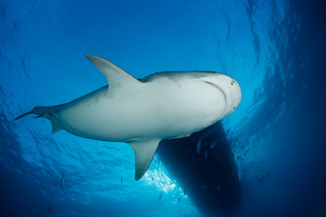 Tiger Shark from below, with Surface and Boat above. Tiger Beach, Bahamas