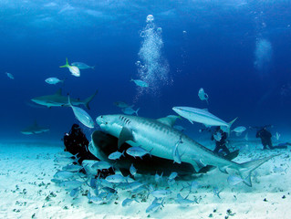 Two Tiger Sharks and Some Caribbean Reef Sharks Close on a Diver. Tiger Beach, Bahamas