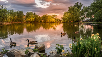 Sunset at Lake Loveland, Colorado with swimming ducks public park. Wall mural