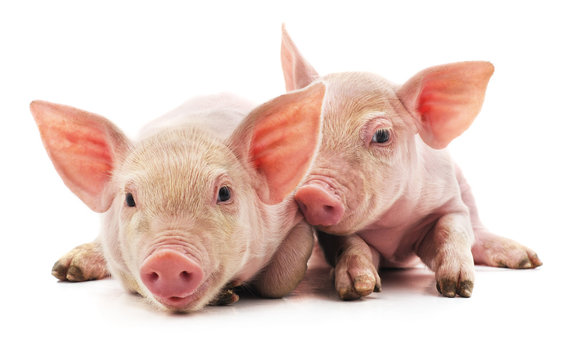 Little pink pigs.