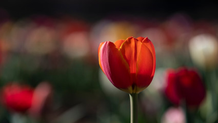 Tulipani italiani ad arese il centro