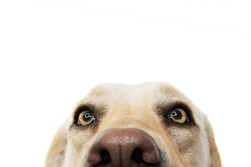 CLOSE-UP FUNNY  LABRADOR DOG EYES. ISOLATED STUDIO SHOT ON WHITE WHITEBACKGROUND. Wall mural